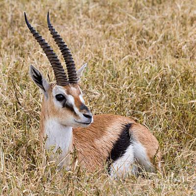 Photograph - Thompson's Gazelle by Chris Scroggins