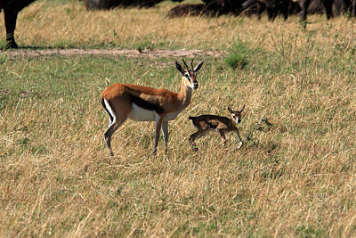 Photograph - Thomson Gazelle by Aidan Moran