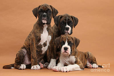 Three Boxer Puppies Art Print