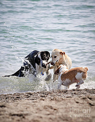 Seashore Photograph - Three Dogs Playing On Beach by Elena Elisseeva