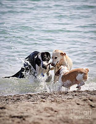 Animals Photos - Three dogs playing on beach by Elena Elisseeva