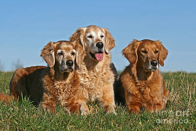 Photograph - Three Golden Retriever Dogs Lying In Grass by Dog Photos