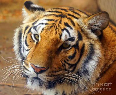 Photograph - Tiger 1 by Rachel Munoz Striggow