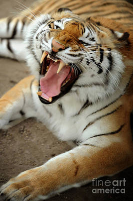 Roar Photograph - Tiger by HD Connelly