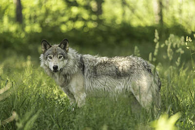 Timber Wolf Art Print by Josef Pittner