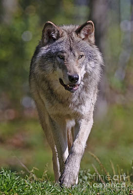 Print featuring the photograph Timber Wolf  by Wolves Only
