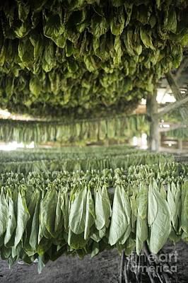 Del Rio Photograph - Tobacco Farming by PhotoStock-Israel