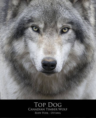 Gray Wolf Photograph - Top Dog by Rudy Pohl