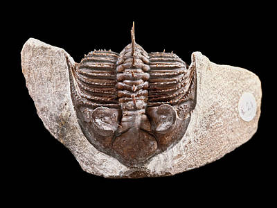 Trilobite Photograph - Tower-eyed Trilobite by Natural History Museum, London
