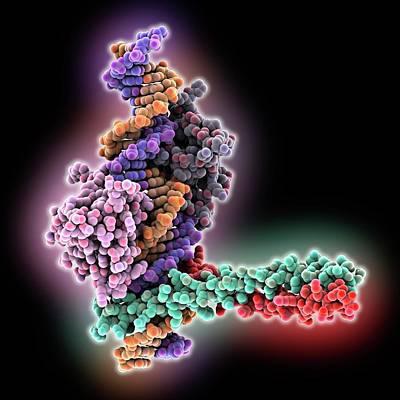 Beta Photograph - Transcription Activation Of Ifn-beta Gene by Laguna Design