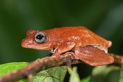Frog Photograph - Tree Frog, Lango Bai, Congo by Pete Oxford