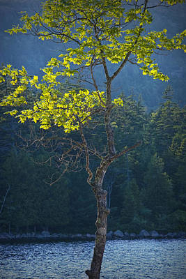 Maine Shoreline Photograph - Tree With Yellow Leaves In Acadia National Park by Randall Nyhof