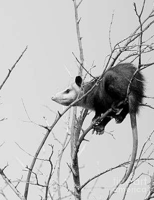 Marsupial Photograph - Treed Opossum by Robert Frederick