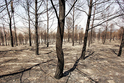 Trees After A Forest Fire In Qiryat Art Print