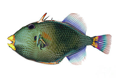 Triggerfish X-ray Art Print by D Roberts