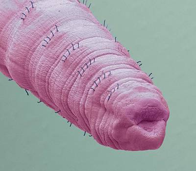 Scanning Electron Microscopy Photograph - Tubifex Worm by Steve Gschmeissner