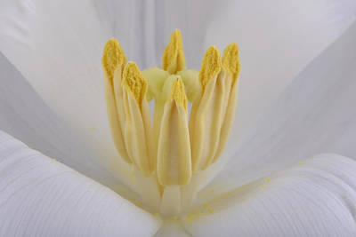 Tulip Print by Mark Johnson