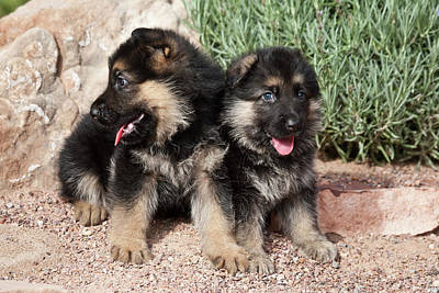 German Shepherd Puppies Photograph - Two German Shepherd Puppies Sitting by Zandria Muench Beraldo