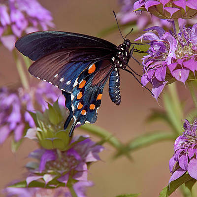 Pipevine Swallowtail Butterfly Photograph - Untitled by Dennis Fast / Vwpics