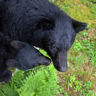 Black Bear Cubs Photograph - Usa, Alaska, Anan Creek by Jaynes Gallery