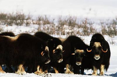 Usa, Alaska, Arctic National Wildlife Art Print