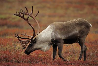 Usa, Alaska, Bull Caribou, Denali Print by Gerry Reynolds