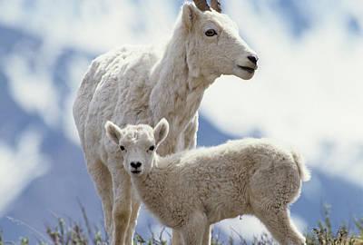 Usa, Alaska, Dall Sheep, Ewe, Ewe Art Print by Gerry Reynolds