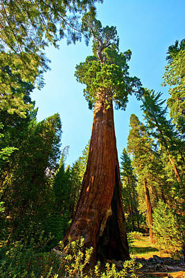 Sequoiadendron Giganteum Photograph - Usa, California, Sequoia, Kings Canyon by Bernard Friel