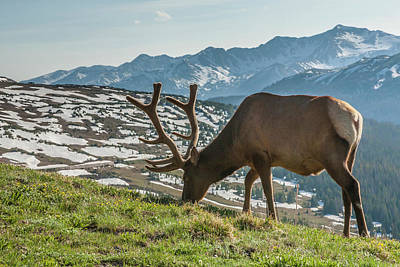 Grazing Elk Photograph - Usa, Colorado, Rocky Mountain National by Jaynes Gallery