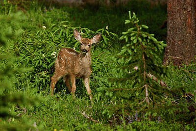Mule Deer Fawn Photograph - Usa, Colorado, White River National by Jaynes Gallery
