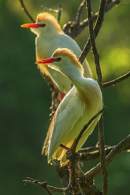 Cattle Egret Photograph - Usa, Florida, Gatorland by Jaynes Gallery