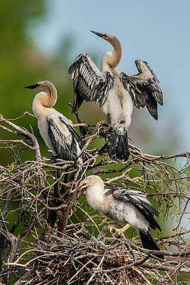 Three Chicks Photograph - Usa, Florida, Green Cay, Wakodahatchee by Jaynes Gallery