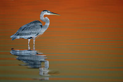 Heron Photograph - Usa, Florida, St by Jaynes Gallery