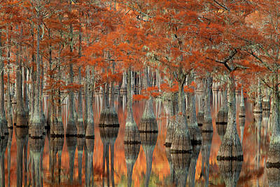 Tree City Usa Photograph - Usa, Georgia, Fall Cypress Trees by Joanne Wells