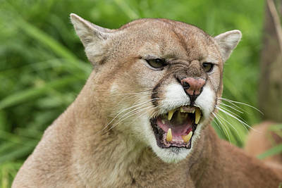 Puma Photograph - Usa, Minnesota, Sandstone, Minnesota by Jaynes Gallery