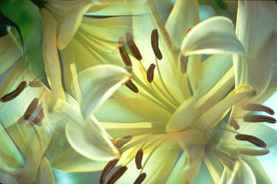 Oriental Lily Photograph - Usa, New York, Slingerlands by Jaynes Gallery