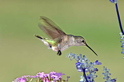 Humming Birds Photograph - Usa, Texas, Hill Country by Jaynes Gallery