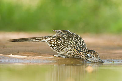Roadrunner Wall Art - Photograph - Usa, Texas, Rio Grande Valley by Jaynes Gallery
