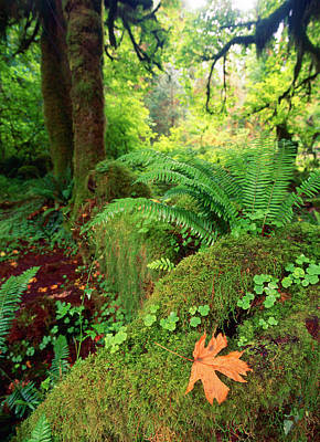 Tropical Rainforest Photograph - Usa, Washington State, Olympic by Michele Westmorland