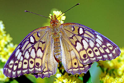 Photograph - Variegated Fritillary Butterfly by Millard H. Sharp
