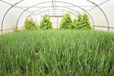 Green Beans Photograph - Vegetables Growing In Polytunnels by Ashley Cooper