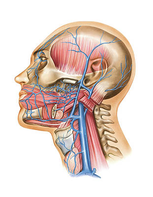 Mental Photograph - Venous System Of The Head And Neck by Asklepios Medical Atlas