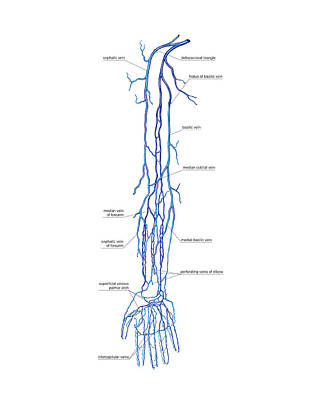 Venous System Of The Upper Limb Art Print by Asklepios Medical Atlas