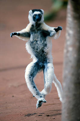 Agility Photograph - Verreauxs Sifaka Propithecus Verreauxi by Panoramic Images