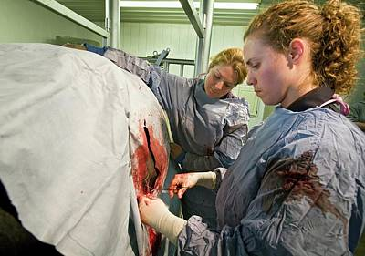 Veterinarians Operating On A Cow Art Print by Jim West