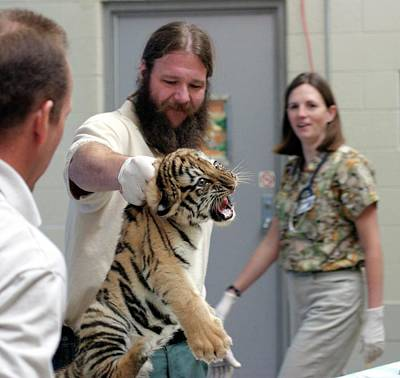 Vet Photograph - Vets Examining An Amur Tiger Cub by Jim West