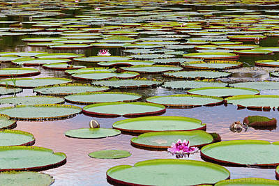 Victoria Amazonica Lily Pads Art Print by Keren Su
