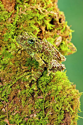 Anuran Photograph - Vietnamese Mossy Frog, Theloderma by David Northcott