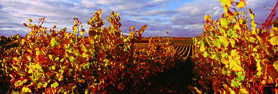 Winemaking Photograph - Vineyard At Napa Valley, California, Usa by Panoramic Images