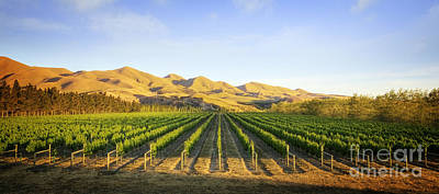 Grapevine Photograph - Vineyard In Canterbury New Zealand by Colin and Linda McKie